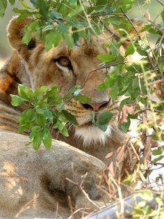Lioness <3