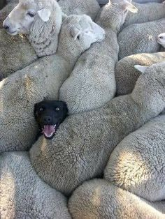 An image tagged dogs,funny dogs,sheep Cute Funny Animals, Funny Animal Pictures, Funny Dogs, Funny Sheep, Cute Animal Humor, Funny Photos, Cute Sheep, Happy Photos, Baby Pictures