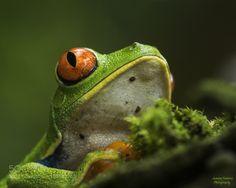 Agalychnis callidryas-  Red-eyed tree frog by juanqafonseca