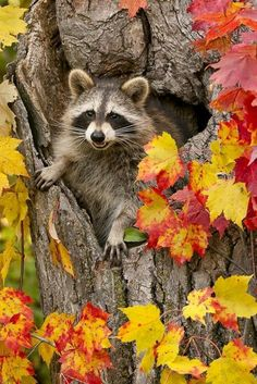 Raccoon (Procyon lotor) in hole in tree with fall color, Pine County, MN captive by Animals Animals. View and buy royalty free and rights managed stock photos at Animals Animals. Animals And Pets, Baby Animals, Cute Animals, Strange Animals, Wild Animals, Beautiful Creatures, Animals Beautiful, Tier Fotos, All Gods Creatures