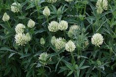 Trifolium ochroleucon, weldra kan ons feetje ook op trifolium rubens dansen, samen met de bijen natuurlijk, en de vlinders, de hommels...