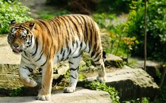 Best Tiger - https://www.highdefwallpaper.com/animals/best-tiger/ Best Tiger is an HD wallpaper posted in animals category. You can download Best Tiger HD wallpaper for your desktop, notebook, tablet or phone or you can edit the image, resize, crop, frame it so that will fit on your device.