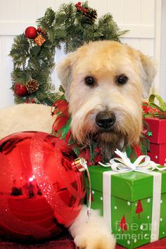 Wheaton Greeting lol this is identical to my sweet wheaten Terrier Merry Christmas Card Puppy Holiday Dogs Santa Claus Dog Puppies Xmas