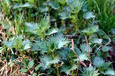 KUUNSÄTEESSÄ: Nokkonen, terveyspommi Parsley, Herbs, Nature, Plants, Naturaleza, Herb, Plant, Nature Illustration, Off Grid