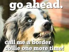Go ahead...call me a border collie one more time! Grrr!