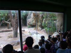 El tigre encuentra la carnada y grandes y chicos expectantes a su instinto animal.