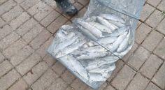 Pêche à la truite - Alevinage mai 2016 - 100 kg