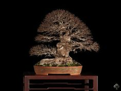 Stefano Frisoni Ulmus procera bonsai