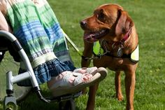 Assistance Dogs International : Assistance Dogs International : Setting standards for the assistance dog industry since 1987 Online Pet Supplies, Dog Supplies, Dog Organization, Wireless Dog Fence, Dog Information, Work With Animals, Pet Supply Stores, Buy Pets, Therapy Dogs