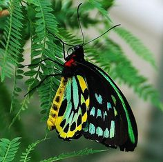 Green Bird Wing Butterfly (Ornithoptera priamus) by tropicalart77, via Flickr