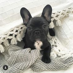 French Bulldog Puppy ♥
