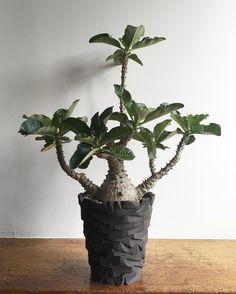 あなたの気持ちは大分分かるようになって来ました ・ これからも仲良くしていけそうです ・ ・ #pacypodium #baroni #windsorii #succulent #succulents #caudex #caudiciform #plant #plants #koolplant #koolplants
