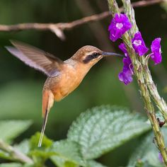 Grey-chinned Hermit, Phaethor-nis griseogularis