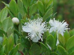 Luma apiculata   Trees   Patagonia Plants