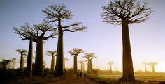 Se ne potrebbero portare ancora altri ad esempio noti come alberi particolati, quali il Baobab, uno degli alberi più conosciuti delMadagascarcaratterizzato dal tronco bulboso cilindrico rastremato con rami scheletrici che si diramano a tutta altezza o il cipresso di Montezuma a Oaxaca in Messico, noto anche come Árbol del Tule il cui nome deriva dalla chiesa di Santa Maria del Tule nell'Oaxaca.
