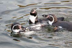 Aquarellkurse und Malevents für Familien im Rostocker Zoo | Malevent für Familien im Rostocker Zoo – Pinguine (c) Frank Koebsch (1)