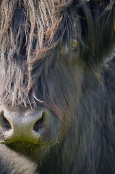 B&B Romesdal Highlander_Ile de Skye (Ecosse). Juin 2015 B & B, Cow, Animals, June, Stuff Stuff, Animales, Animaux, Cattle, Animal
