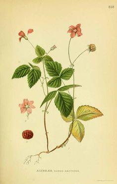 131566 Rubus arcticus L. / Lindman, C.A.M., Bilder ur Nordens Flora, vol. 2: t. 310 (1922-1926)