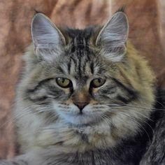Ottepel' Lunnaya Dymka Black Tabby Siberian Queen Breeder of hypoallergenic Russian Siberian Forest Cat Companions Siberian Forest Cat, Kittens, Cats, Queen, Animals, Black, Gatos, Animales, Kitty Cats