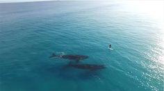 """""""파도타기 중 우연히 희귀고래를 만났다"""" 영상 http://www.wikitree.co.kr/234773"""