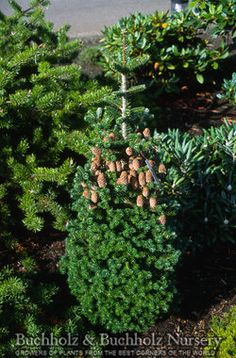 Abies koreana 'Gait' A slow-growing upright evergreen conifer with lush, rich green needles. This selection produces numerous ornamental cones, even at a young age. Prefers sun/partial shade in well-drained soil. tall x wide in 10 years. Evergreen Trees, Trees And Shrubs, Abies Koreana, Picea Abies, Wholesale Nursery, Plant Nursery, Pathways, 10 Years, Perennials