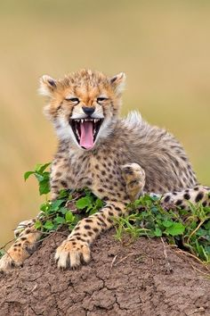 * Cheetah by Stephen Earle on 500px