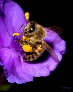 Bee in the Spiderwort