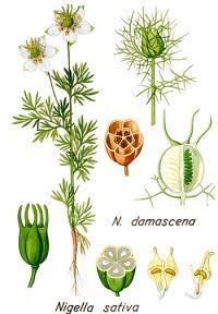 BLACK CUMIN SEED - NIGELLA Nigella sativa L. (Ranunculaceae)