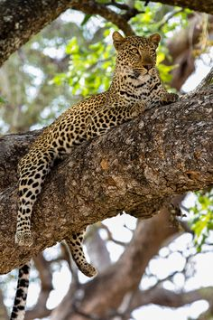 The legendary leopard Lucy of South Luangwa, Zambia