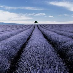 Lavender field in full bloom landscape photograph in Valensole France by Charlie Waite. Stunning lavender field 40cm x 40cm landscape picture for sale from Charlie Waite Photography.
