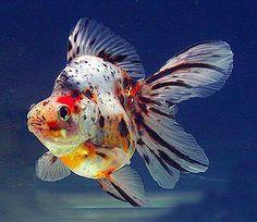 Goldfish Lovers: Goldfish types