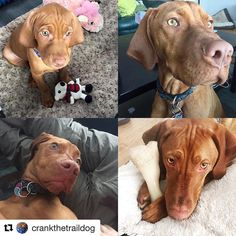 #Repost @crankthetraildog with @repostapp  Can't believe this adorable little guy has been in my life for a full year today. The time has gone by so fast and yet it feels like we've had him forever. Thanks for a great year Crank here's to many more! #anniversary #vizsla #vizslasofinstagram #vizslapuppy #vizslagram #dogs #dogsofinstaworld #puppies #puppiesofinstagram