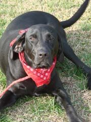 Maggie is an adoptable Black Labrador Retriever Dog in Somerset, NJ. THE BREED THIS PET IS LISTED AS IS OUR BEST GUESS AS WE HAVE NO BACKGROUND INFO ON WHO THE MOM OR DAD ARE. Meet Maggie! Maggie is a...