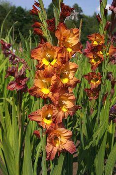 Gladiolus Abbie