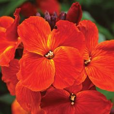 Wallflower 'Sunset Orange'