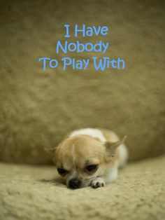 This lonely Chihuahua puppy wants a playmate...would you be willing?