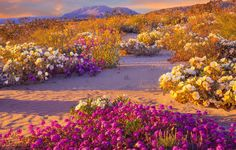 Spectacular 'Super Bloom' Is Just Days Away In This California Desert   The Huffington Post