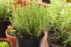 Perennial herbs are dual-purpose plants that can be used in recipes and home remedies while adding beauty to your garden. Here are five good choices. Gardening For Beginners, Gardening Tips, Best Perennials, Healthy Herbs, Herbs Indoors, Garden Care, Growing Herbs, Fresh Herbs, Garden Plants