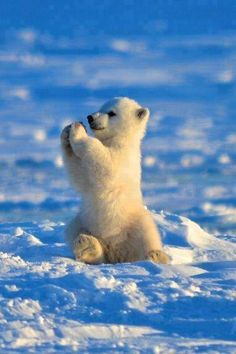"lolcuteanimals: ""Polar Bear Pattycake cute baby polar bear on We Heart It. """