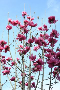 Felix magnolia tree