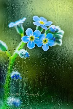 Forget me nots in the rain