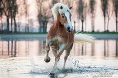Halflinger Pony