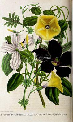 calonyction diversifolium sulfureum, clematis guascoi   ...