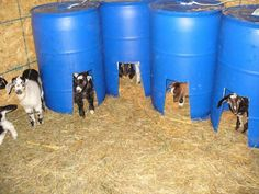 These would make great creep feeders, as well as safe place to get out from under bigger goats, and warmer sleeping in winter.