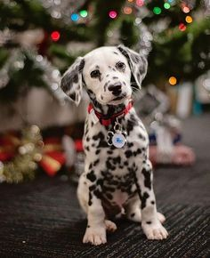 Dalmatian puppy is the cutest ever at Christmas!