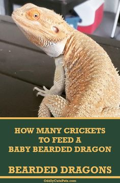 Learn how many crickets to feed a baby bearded dragon. Learn about the pros and cons of keeping crickets for food and more. Bearded Dragon Feeding, Bearded Dragon Food List, Bearded Dragon Funny, Bearded Dragon Cage, Bearded Dragon Habitat, Lizard Tank, Bearded Dragon Enclosure, Bearded Dragon Terrarium, Cute Reptiles