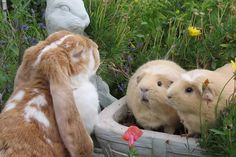 It almost looks like the piggies are engrossed in whatever the bun is sharing.