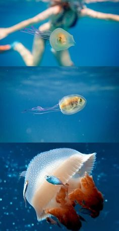 Photographer Captures Live Fish Stuck Inside A Jellyfish Nature Animals, Animals And Pets, Baby Animals, Funny Animals, Cute Animals, Animal Memes, Animal Pictures, Sea Cow, Interesting Animals