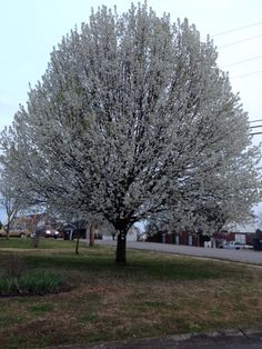 Blooming Bradford Pear Tree.