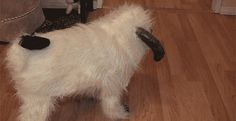 This dog who is actually a wampa.   The 40 Greatest Dog GIFs Of All Time